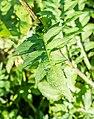 Cirsium oleraceum at Lac des Plagnes (2).jpg