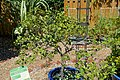 Citrus japonica (Fortunella crassifolia) - Marie Selby Botanical Gardens - Sarasota, Florida - DSC01660.jpg