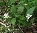 Claytonia lanceolata RF.jpg