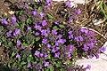 Clinopodium alpinum 2 RF.jpg