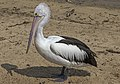 Clontarf Pelican waiting for a fish-1 (7861986756).jpg