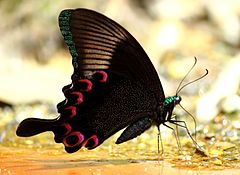 Close wing position of Papilio paris, Linnaeus, 1758 – Paris Peacock WLB.jpg