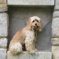 Cockapoo Dog.png