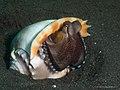 Coconut Octopus (9960319194).jpg