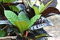 Codiaeum variegatum var. pictum Norma 0zz.jpg