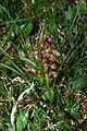 Coeloglossum viride PID1116-2.jpg