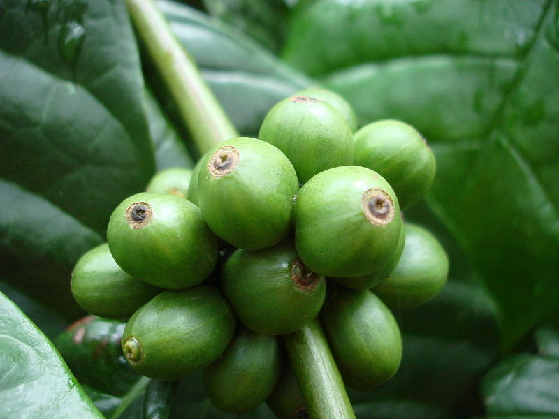 Coffea canephora berries