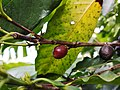 Coffee arabica cherry.jpg