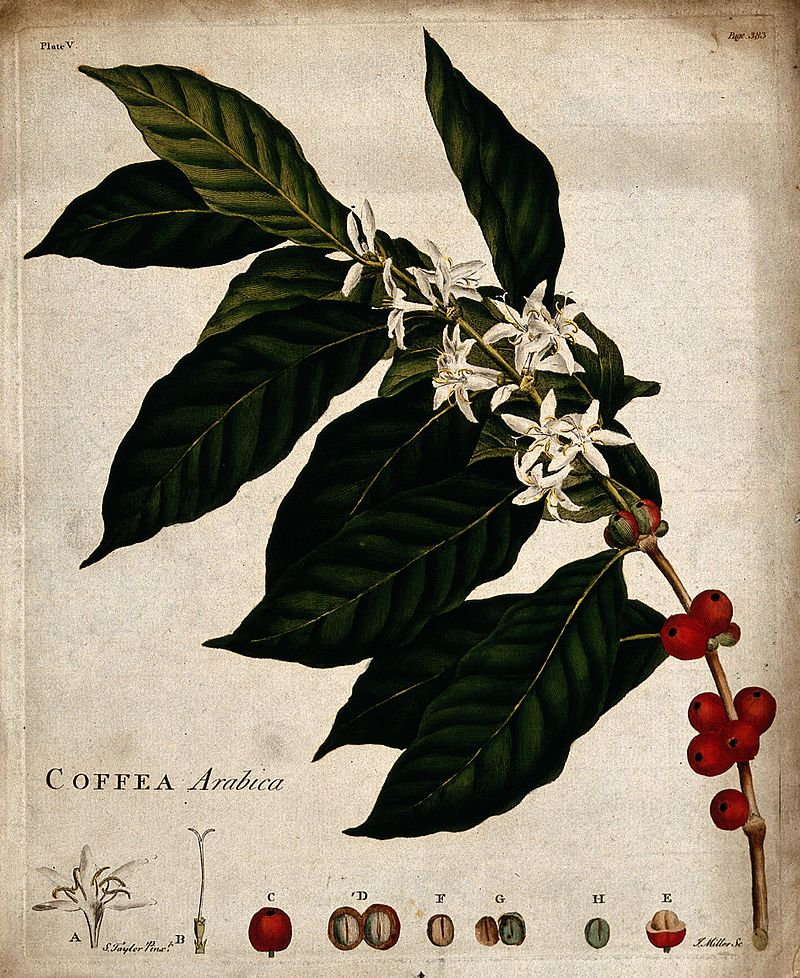 阿拉比卡咖啡。那是介於灌木和樹木之間的一種植物,稱它為灌木或樹木似乎都可以。