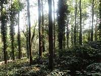 Coffee plantation at Araku (11).JPG