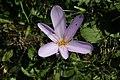 Colchicum autumnale - img 39652.jpg