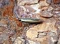 Coleophora sp (36275973896).jpg