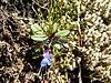 Collinsia parviflora 37842