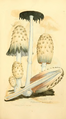 Coloured Figures of English Fungi or Mushrooms - t. 189.png