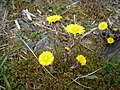 Coltsfoot - Tussilago farfara - geograph.org.uk - 1255598.jpg