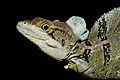 Common Basilisk (Basiliscus basiliscus).jpg