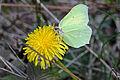 Common Brimstone - Gonepteryx rhamni 01.jpg