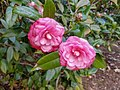 Common Camellia - Flickr - Editor B.jpg