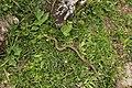 Common European Adder - Vipera berus (43484503934).jpg