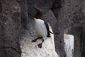 Guillemot - Common guillemot in bridled form, a white circle around the eye with an extension backwards suggesting they are wearing spectacles.