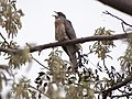 Common Hawk-Cuckoo - Hierococcyx varius - DSC05080.jpg