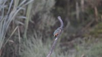 Файл:Common Kingfisher eating a fish.webm
