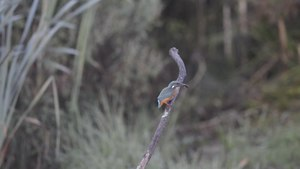 File:Common Kingfisher eating a fish.webm