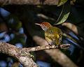 Common Tailorbird Thailand.jpg