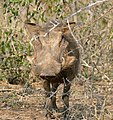 Common Warthog (Phacochoerus africanus) female (32263217875).jpg