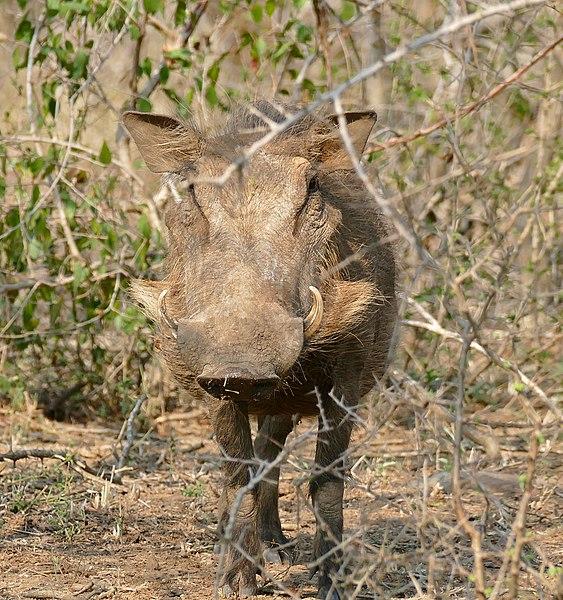 File:Common Warthog (Phacochoerus africanus) female (32263217875).jpg