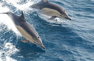 Common dolphin - Image: Common dolphin noaa