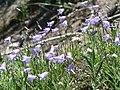 Common harebells. Campanula rotundifolia (ee53193b35ba40968791fac356229a59).JPG