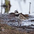Common ringed plover, Charadrius hiaticula, at Marievale Nature Reserve, Gauteng, South Africa (44878738314).jpg