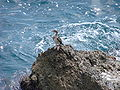 Common shag (Phalacrocorax aristotelis).JPG