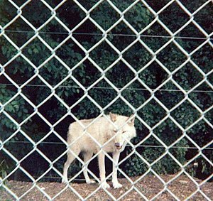 Como Park Zoo and Conservatory - Wolf exhibit, June 1980