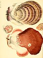Conchologia iconica, or, Illustrations of the shells of molluscous animals (1843) (20056985753).jpg