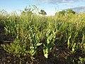 Conringia orientalis (7460987764).jpg
