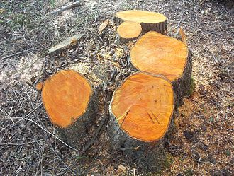 Coppicing - A recently coppiced alder stool in Hampshire