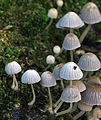 Coprinellus disseminatus, Fairy Inkcap, UK.jpg