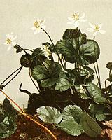 Coptis trifolia WFNY-060A-4x5.jpg