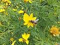 Coreopsis verticillata De Gasperi 04.jpg