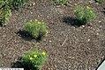 Coreopsis verticillata Zagreb 16zz.jpg