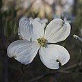 Cornus florida inflorescence.jpg