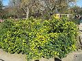 Coronilla valentina subsp. glauca (Jardin des Plantes de Paris).jpg