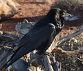 Corvus corax -Canyonlands National Park, Utah, USA-8.jpg