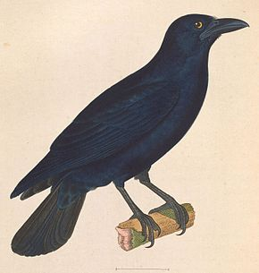Description de l'image Corvus nasicus 1838.jpg.