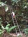 Cox's Cave ladder - panoramio.jpg