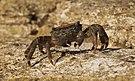 Crab (Pachygrapsus marmoratus).jpg