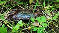 Crab in Elatia forest.jpg
