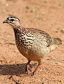 Crested Francolin, Dendroperdix sephaena at Borakalalo National Park, South Africa (9937689525).jpg
